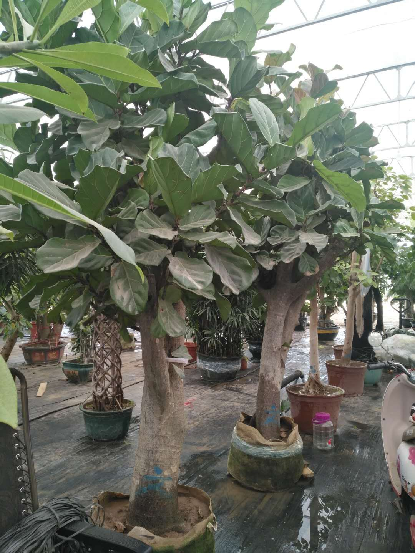 琴叶榕的保养方法