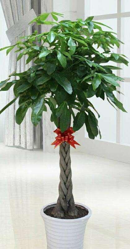 马拉巴栗发财树