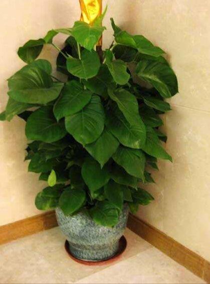 大叶绿萝盆栽净化神器